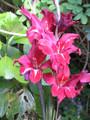 Claudia - Baby Gladiolus