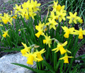 Miniature Daffodil Collection - Special Offer