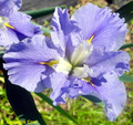 Blue Mountain - Louisiana Iris