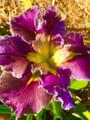 Highland Mist - Louisiana Iris