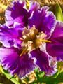 Italian Affair - Louisiana Iris