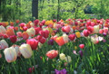 Mixed Single Late Tulips- Special Offer