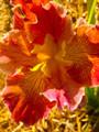 Twilight Tango - Louisiana Iris