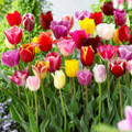 50/100 Mixed Triumph Tulips - Special Offer