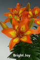 Bright Joy - Dwarf/Potting Lilium
