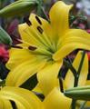 Pearl Melanie- Asiatic Lilium