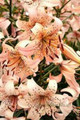 Pink Giant - Tiger Lily