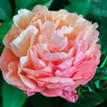 Pink Hawiian Coral - Peony Roses
