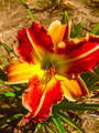 Chilli Spice - Classic Daylily
