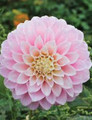 Devon Seattle - Decorative Dahlia