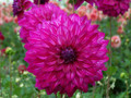 Kashmir - Decorative Dahlia