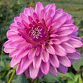 Lavender Lady - Decorative Dahlia
