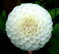 Little Angel - Ball Dahlia
