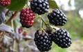 Lawtonberries
