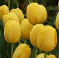 Novi Sun - Darwin Hybrid Tulip