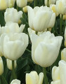 Bulk Tulips - Antarctica Triumph tulip