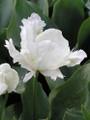 White Lizard - Parrot Tulip