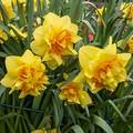 Enterprise - Double Daffodil