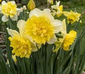 Full House - Double Daffodil