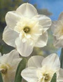 Papillion Blanc - Single Daffodil