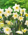 Silver Smiles - Happy Daffodil