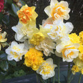 Your Choice Mixed Double Daffodils