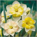 Changing Colours - Butterfly Daffodil