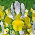Montecito - Dutch Iris
