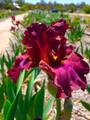 Spring of Life - Bearded Iris