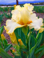 Lemon Portrait - Bearded Iris
