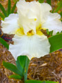 Dreaming in Cream - Bearded Iris