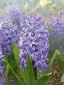 Delfs Blue