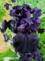 Pot Black - Bearded Iris