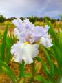 Covina - Bearded Iris