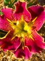 Extra Dazzle - Louisiana Iris