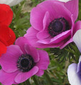 Your Choice Anemones Mixed Colours