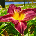 Kensington Manor - Classic Daylily
