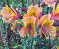 Butterscotch - Alstromeria