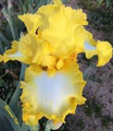 Sydney's Choice - Bearded Iris