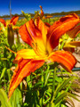 Lakehouse Russet - Spider Daylily