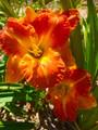 Lakehouse Orange - Classic Daylily