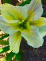 Nadine Sarah - Louisiana Iris