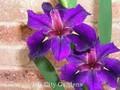 Katelyn Anne - Louisiana Iris