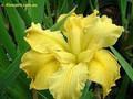 Koorawatha - Louisiana Iris