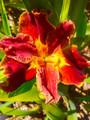 Pilbara Dreaming - Louisiana Iris