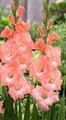 Flevo Effect - Gladiolus