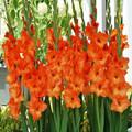 Sun Kissed - Gladiolus