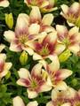 Easy Spot - Asiatic & Pollen Free Lilium
