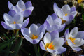 Dutch Crocus Special Offer