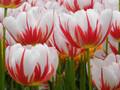 Carnival de Nice - Double Tulip